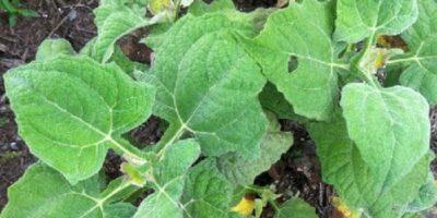 manfaat daun insulin dan efek sampingnya aladokter